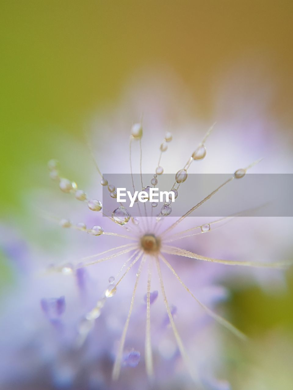 fragility, flower, nature, beauty in nature, selective focus, freshness, close-up, drop, petal, growth, purple, plant, no people, flower head, outdoors, water, day
