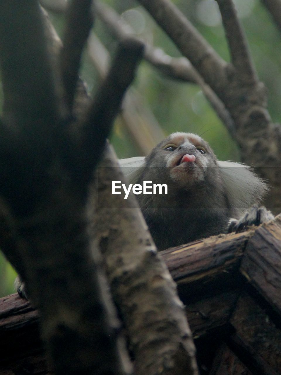 Low Angle View Of Common Marmoset On Branch At Zoo