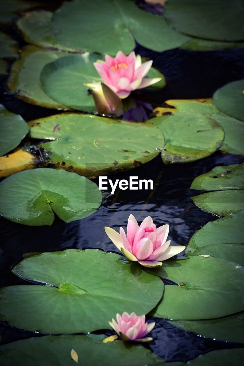water lily, pond, flower, lotus water lily, floating on water, leaf, lily pad, beauty in nature, petal, lotus, water, nature, freshness, fragility, growth, plant, flower head, green color, floating, green, no people, day, close-up, outdoors