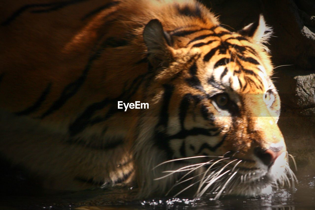 one animal, animal themes, tiger, animals in the wild, animal head, animal wildlife, water, mammal, no people, day, close-up, animal markings, nature, outdoors