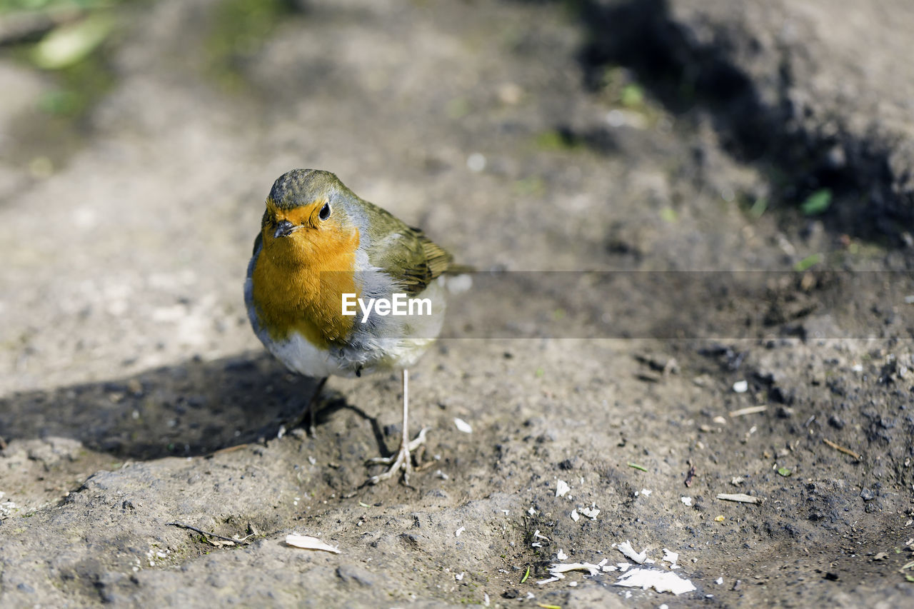 High Angle View Of Robin Perching On Rock