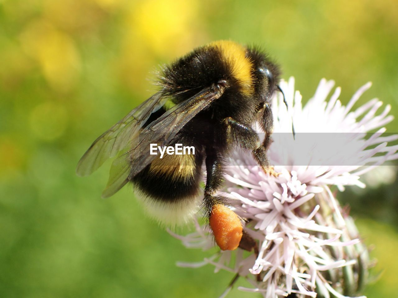 flower, one animal, insect, nature, animal themes, fragility, animals in the wild, focus on foreground, close-up, petal, beauty in nature, growth, freshness, day, outdoors, no people, pollination, animal wildlife, flower head, bee, plant, bumblebee
