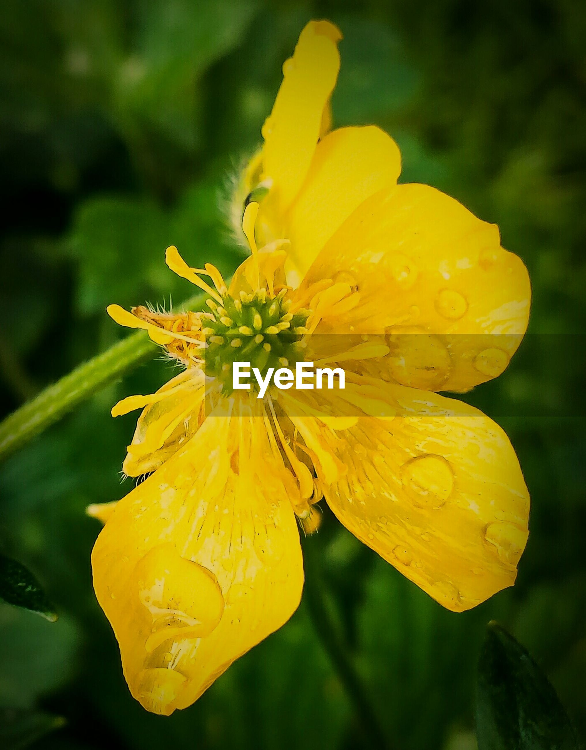 Close-up of wet yellow flower blooming in park