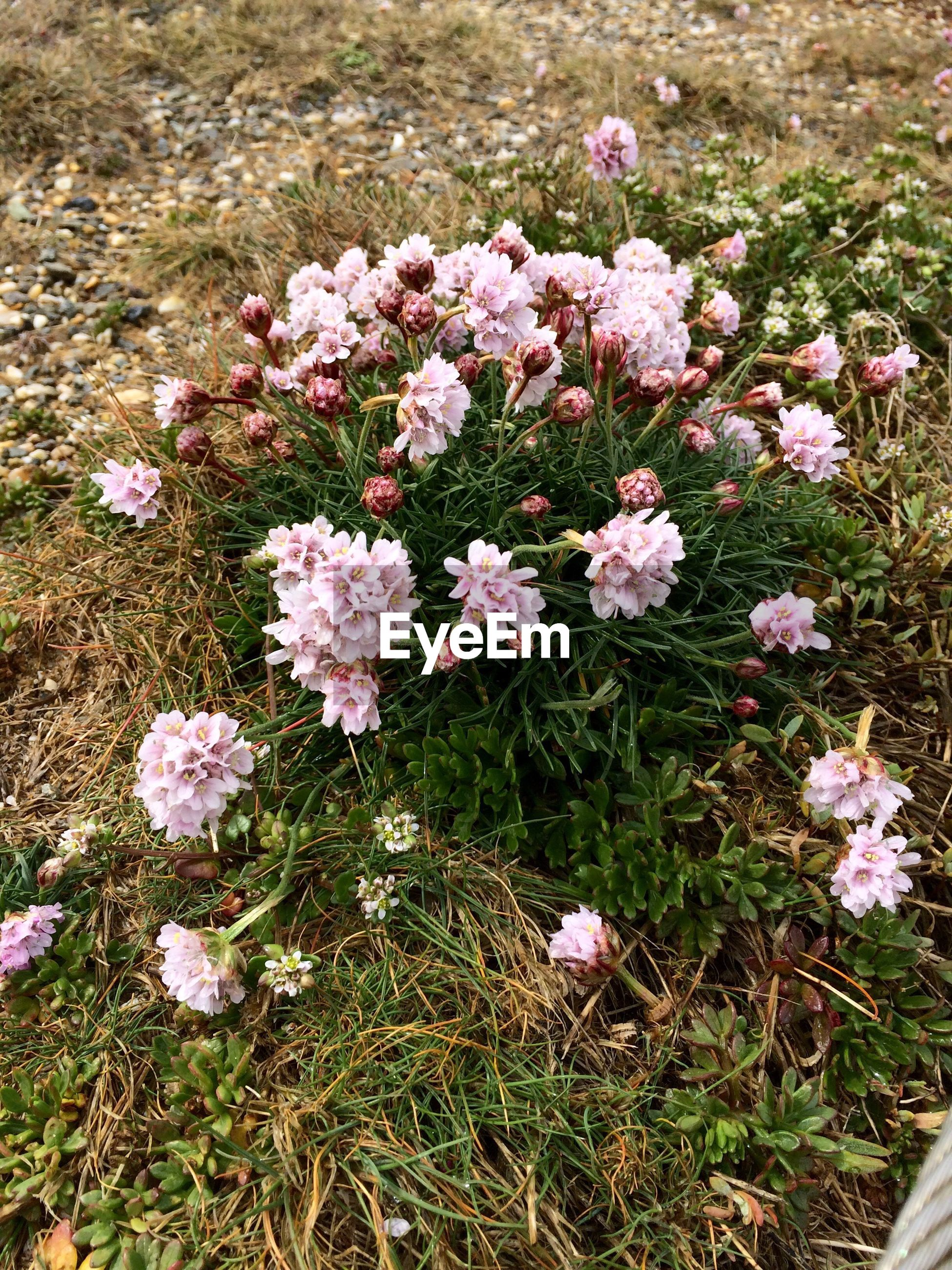 High angle view of beautiful pink flowers