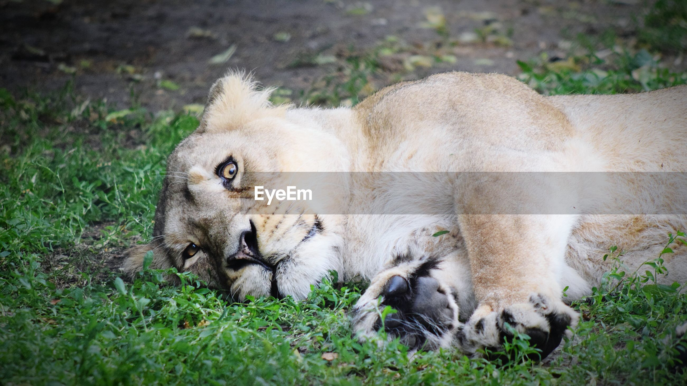 Lion lying on grass at chester zoo