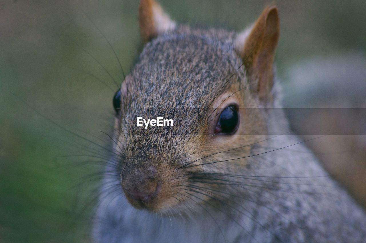 one animal, animal themes, animal, animal wildlife, mammal, rodent, close-up, no people, focus on foreground, animal body part, animals in the wild, whisker, vertebrate, day, looking, selective focus, pets, animal head, outdoors, brown, animal eye, herbivorous