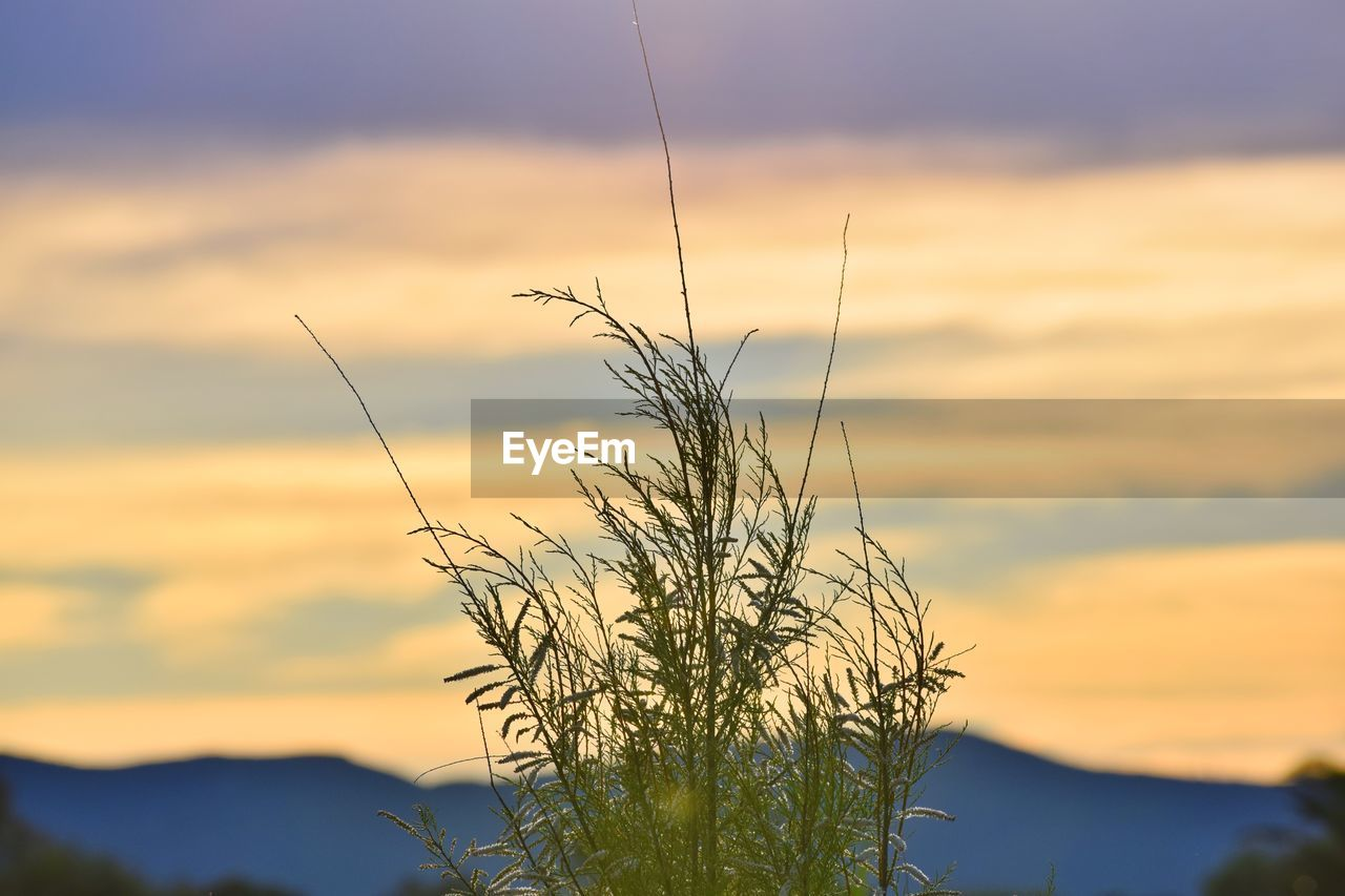 sunset, sky, beauty in nature, plant, cloud - sky, tranquility, nature, focus on foreground, no people, growth, orange color, silhouette, tranquil scene, scenics - nature, close-up, outdoors, non-urban scene, idyllic, sunlight, low angle view, timothy grass