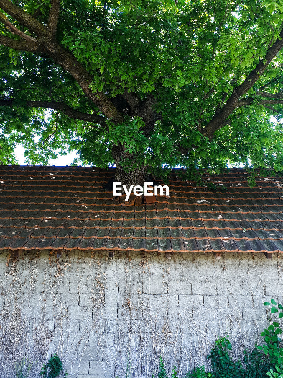 LOW ANGLE VIEW OF IVY ON WALL OF HOUSE