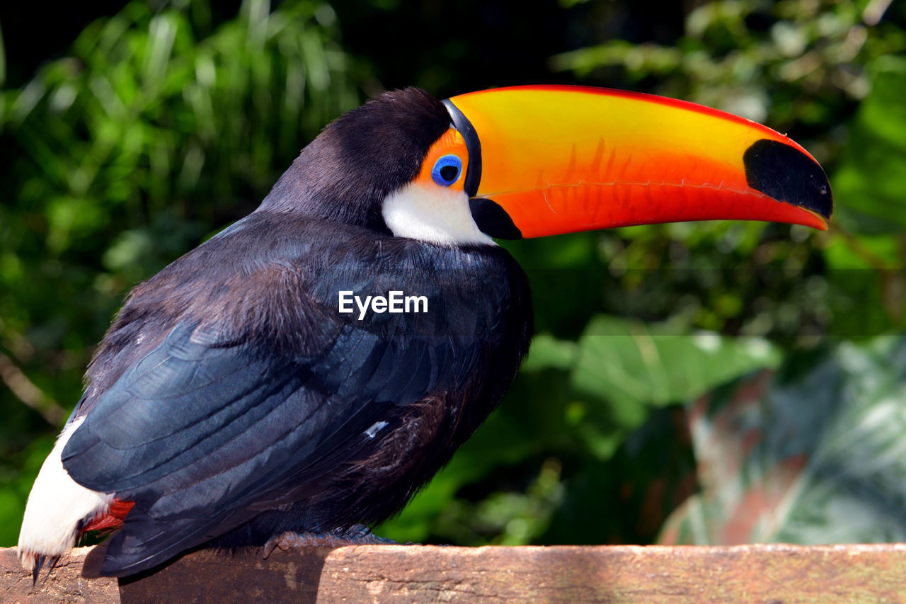 Close-up of toucan on wood at zoo