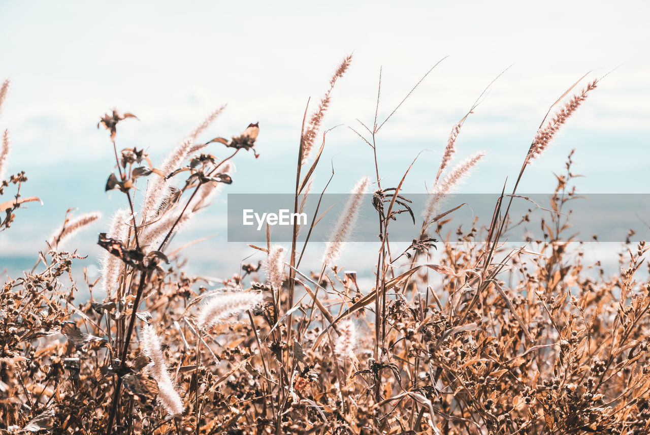 growth, plant, beauty in nature, field, land, tranquility, nature, no people, day, crop, sky, focus on foreground, close-up, agriculture, dry, outdoors, cereal plant, sunlight, scenics - nature, tranquil scene, wilted plant, stalk