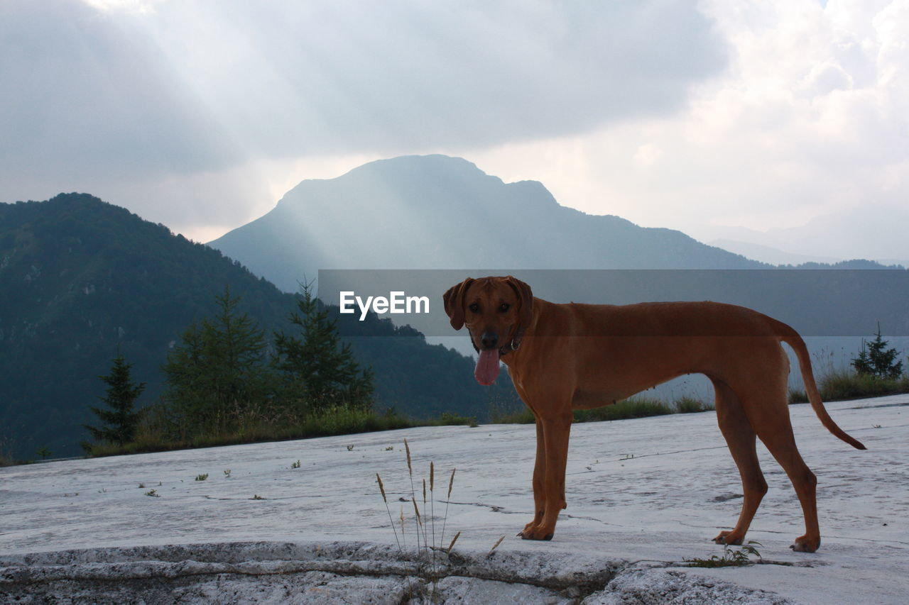 mammal, one animal, domestic animals, mountain, pets, domestic, canine, dog, animal, animal themes, vertebrate, sky, standing, mountain range, nature, cold temperature, cloud - sky, day, snow, no people