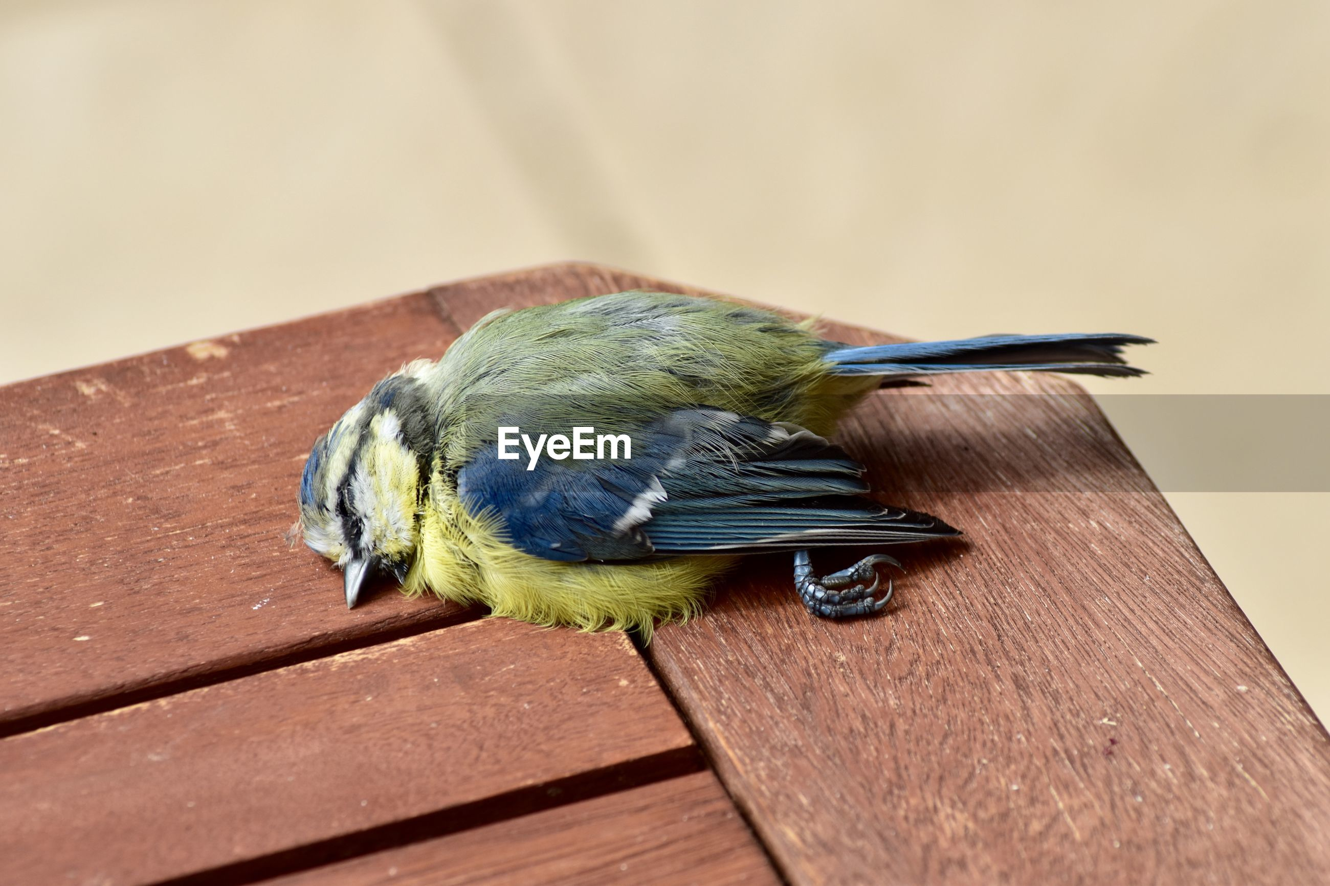 Close-up of great tit on wooden table