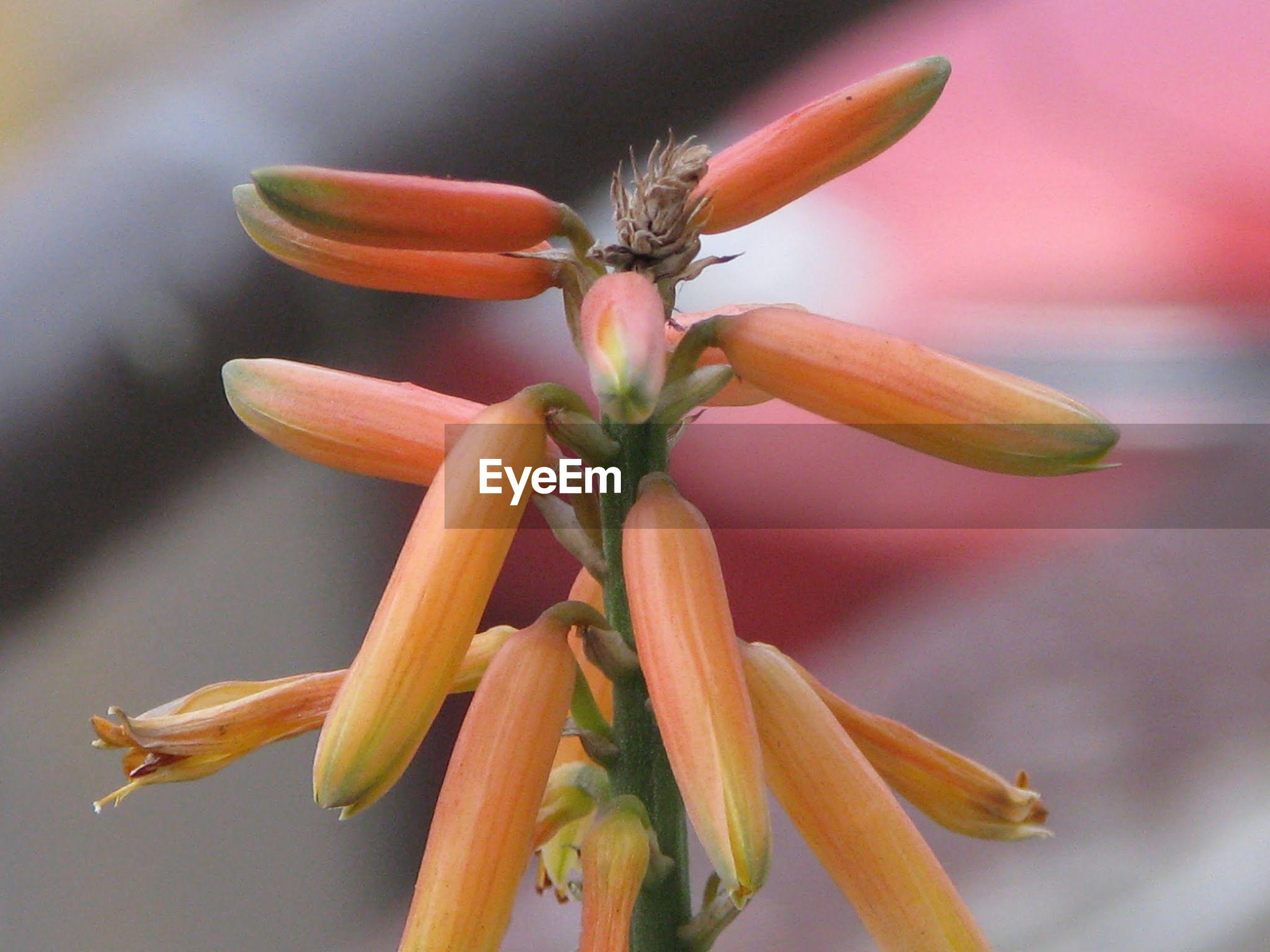 Close-up of orange buds