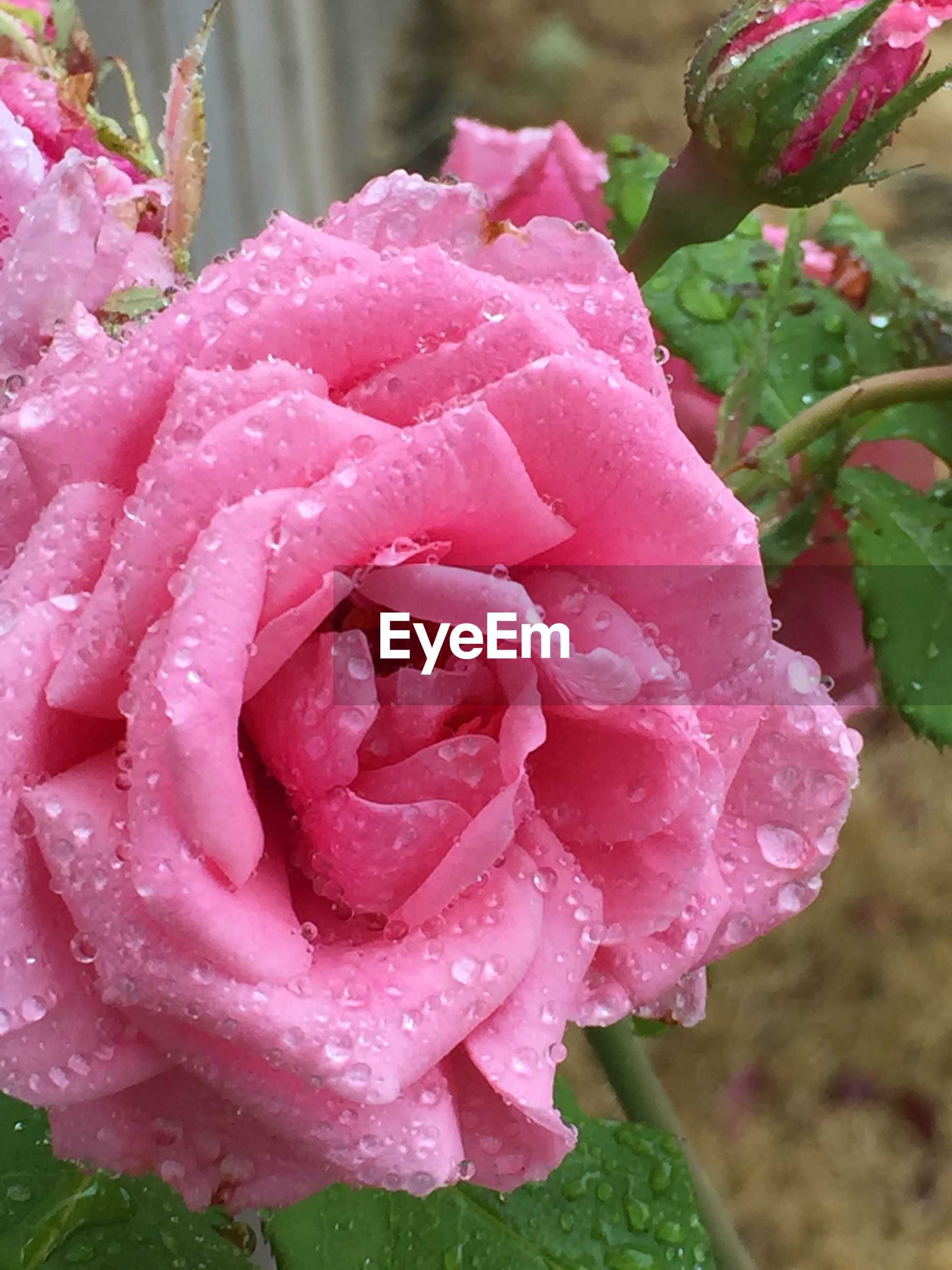 Close-up of wet pink rose blooming outdoors during monsoon