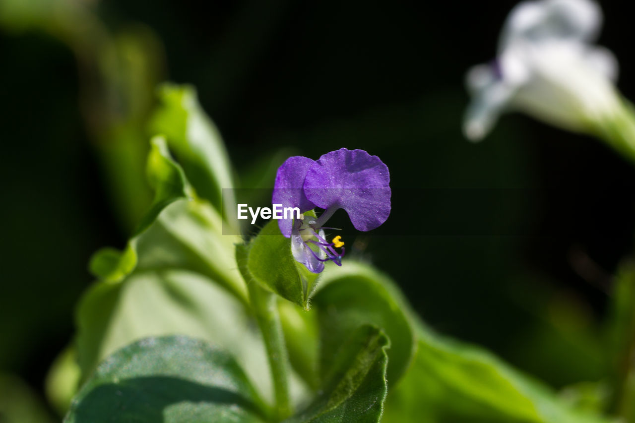 flowering plant, plant, flower, growth, beauty in nature, freshness, vulnerability, fragility, selective focus, close-up, purple, plant part, petal, leaf, green color, invertebrate, nature, no people, day, flower head