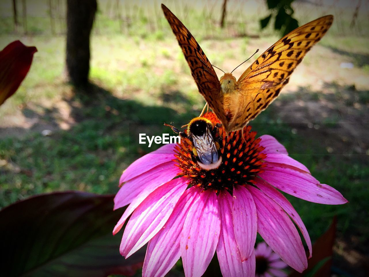 insect, animal themes, animals in the wild, one animal, butterfly - insect, nature, no people, fragility, flower, butterfly, petal, growth, beauty in nature, day, outdoors, freshness, close-up, pollination, animal wildlife, flower head, plant, spread wings, perching, eastern purple coneflower