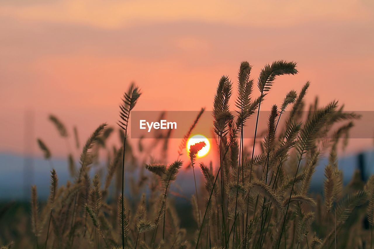 sunset, plant, beauty in nature, sky, growth, orange color, tranquility, nature, sun, no people, scenics - nature, focus on foreground, cloud - sky, close-up, tranquil scene, selective focus, sunlight, field, outdoors, idyllic, stalk, romantic sky