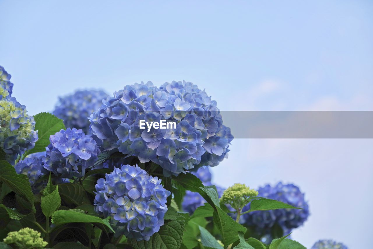 flowering plant, flower, beauty in nature, plant, vulnerability, fragility, growth, close-up, freshness, petal, leaf, plant part, nature, focus on foreground, inflorescence, flower head, sky, day, hydrangea, blue, no people, outdoors, purple, bunch of flowers, lantana, lilac