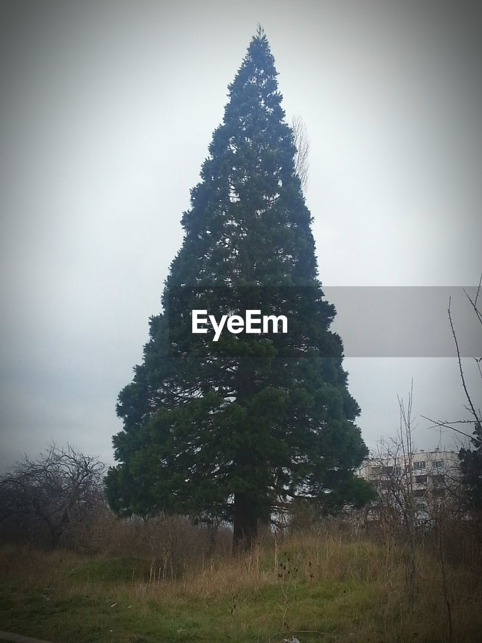 Low angle view of fir tree growing on field against sky