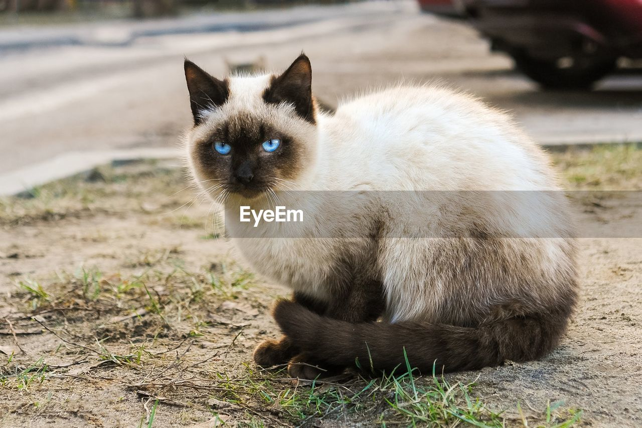 mammal, pets, one animal, domestic, domestic animals, vertebrate, domestic cat, cat, feline, day, looking at camera, portrait, focus on foreground, no people, nature, sitting, field, whisker