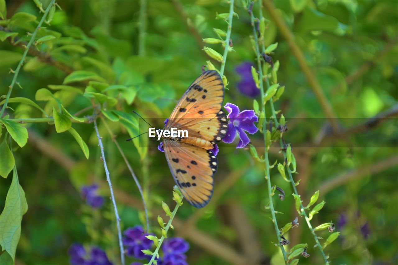 insect, invertebrate, animal wildlife, animal themes, flower, animals in the wild, plant, one animal, animal, flowering plant, beauty in nature, animal wing, butterfly - insect, fragility, growth, vulnerability, close-up, purple, nature, day, pollination, no people, flower head, outdoors, butterfly