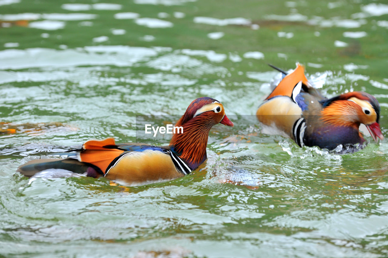 bird, animal themes, vertebrate, mandarin duck, animal, animal wildlife, animals in the wild, water, lake, swimming, duck, group of animals, waterfront, poultry, no people, nature, day, multi colored, two animals