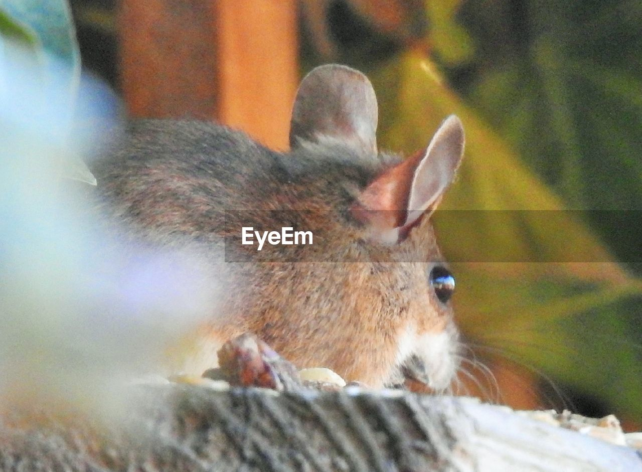 mammal, animal, one animal, animal themes, vertebrate, close-up, animal wildlife, no people, animals in the wild, domestic animals, selective focus, animal body part, day, pets, domestic, relaxation, nature, outdoors, rodent, animal head, whisker, animal ear, herbivorous
