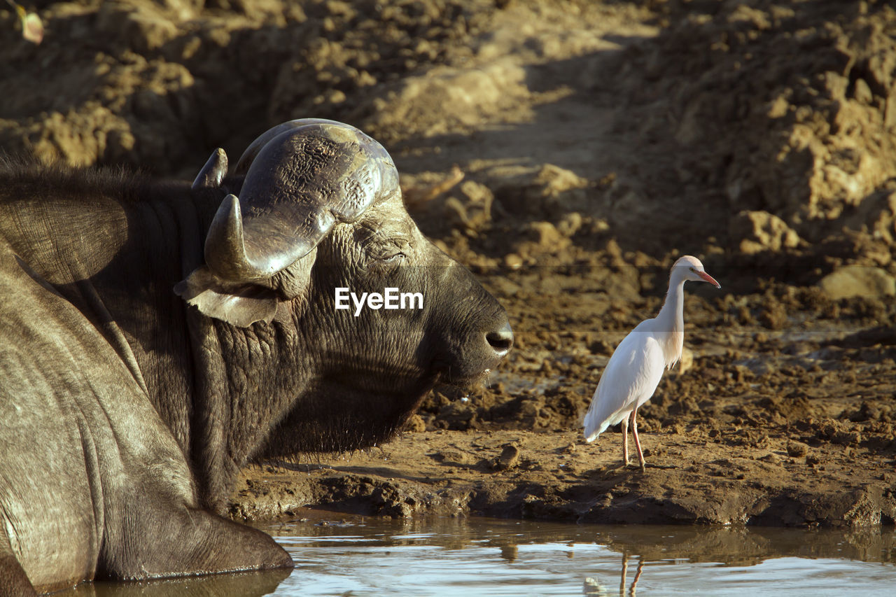 VIEW OF SEAGULL DRINKING WATER FROM ROCK