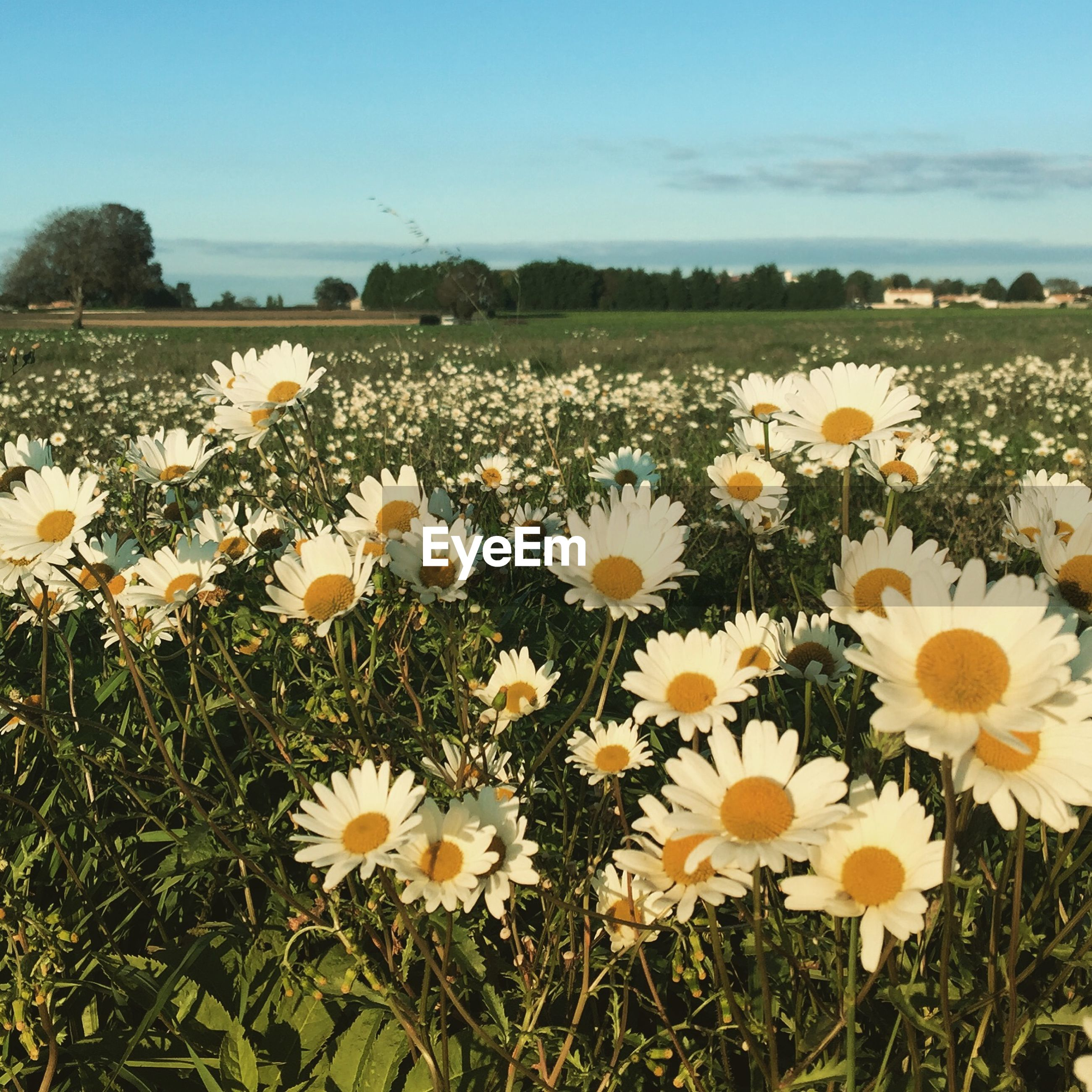 Daises blooming on field against sky