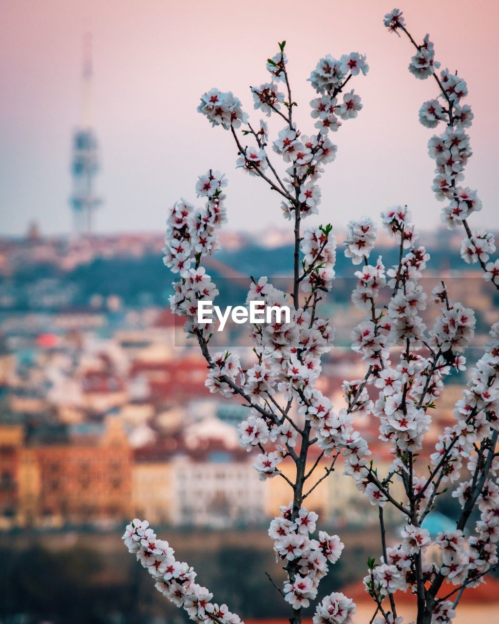 flowering plant, flower, fragility, plant, freshness, growth, vulnerability, beauty in nature, building exterior, architecture, built structure, focus on foreground, blossom, tree, nature, springtime, no people, close-up, day, branch, pink color, outdoors, cherry blossom, cherry tree, flower head