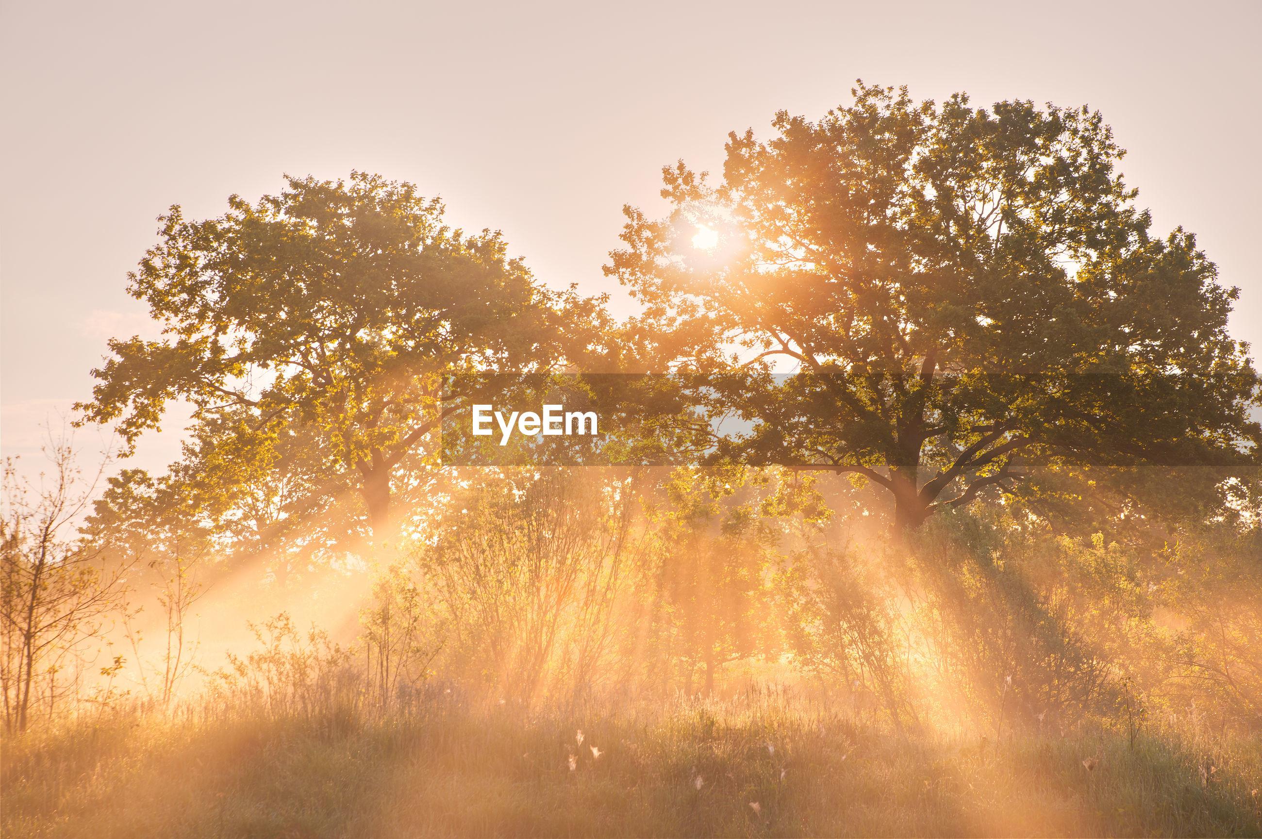 SUNLIGHT STREAMING THROUGH TREE ON FIELD