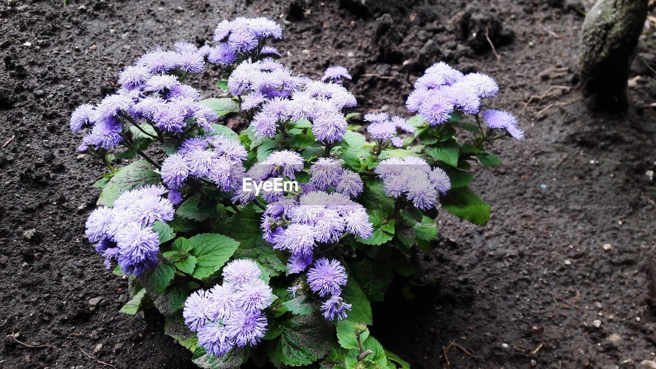 High Angle View Of Purple Flowers Blooming On Field