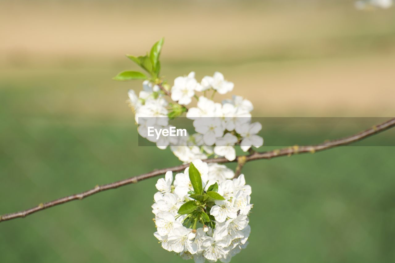Close-Up Of White Cherry Blossom Blooming On Tree