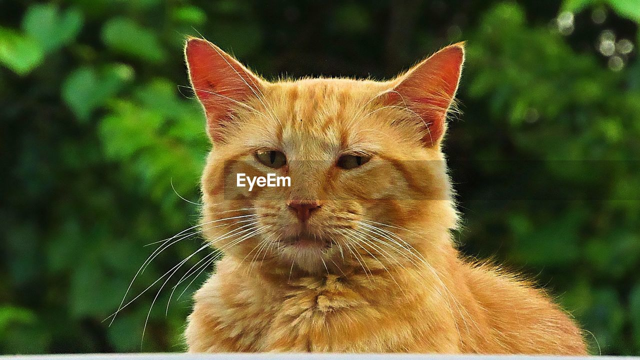cat, animal, mammal, domestic cat, animal themes, feline, one animal, domestic animals, domestic, pets, vertebrate, whisker, focus on foreground, close-up, no people, portrait, animal body part, animal head, looking, looking at camera, ginger cat, animal eye