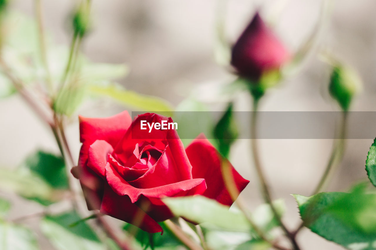 plant, flower, flowering plant, beauty in nature, rose, rose - flower, vulnerability, fragility, petal, freshness, close-up, flower head, inflorescence, nature, red, no people, selective focus, growth, focus on foreground, pink color, outdoors, flower arrangement, bouquet