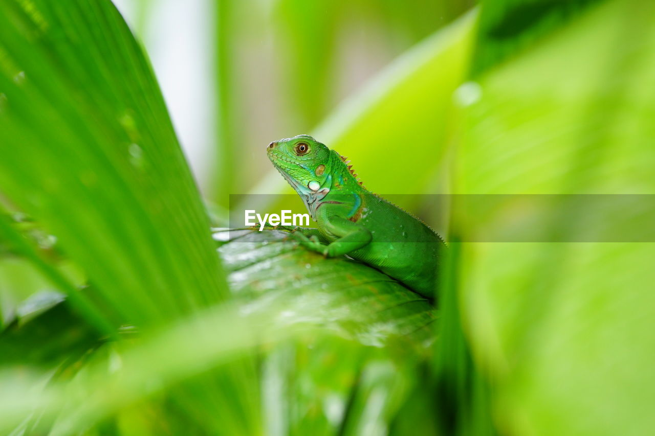 Side view of green lizard on leaf