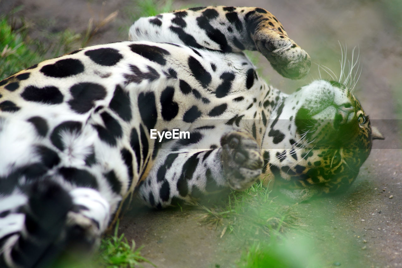 one animal, animal themes, mammal, animal markings, animal wildlife, animals in the wild, no people, day, close-up, outdoors, grass, nature, leopard