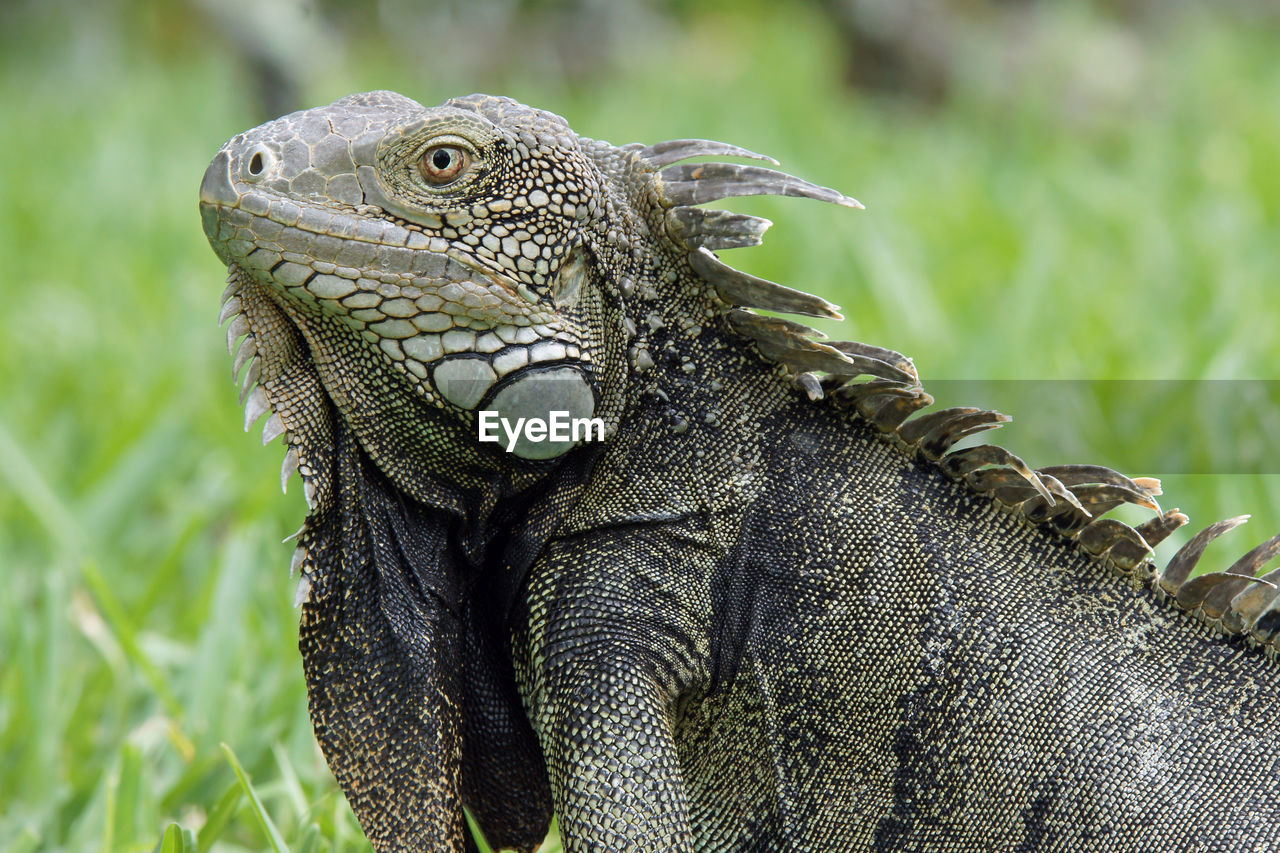 reptile, animals in the wild, lizard, one animal, animal wildlife, animal themes, green color, iguana, day, no people, close-up, outdoors, nature, mammal