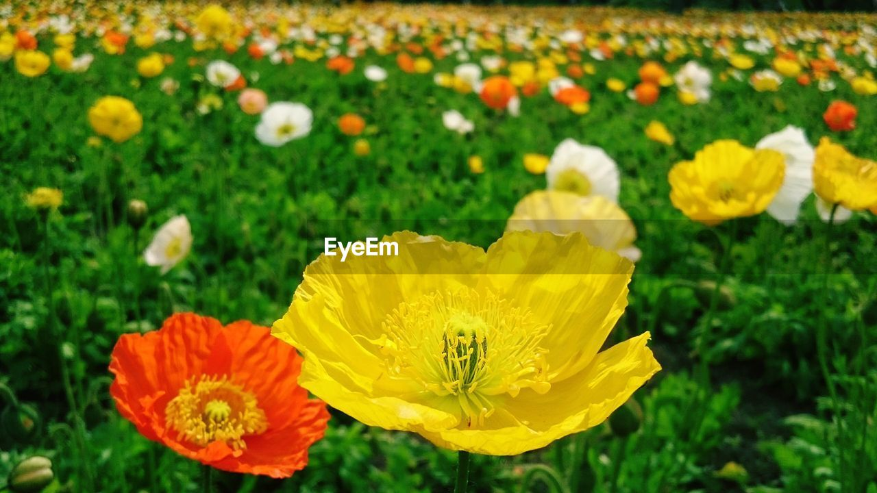 flower, petal, yellow, fragility, flower head, nature, beauty in nature, growth, freshness, plant, blooming, pollen, outdoors, field, poppy, no people, day, stamen, close-up, marigold, sunflower, springtime, animal themes