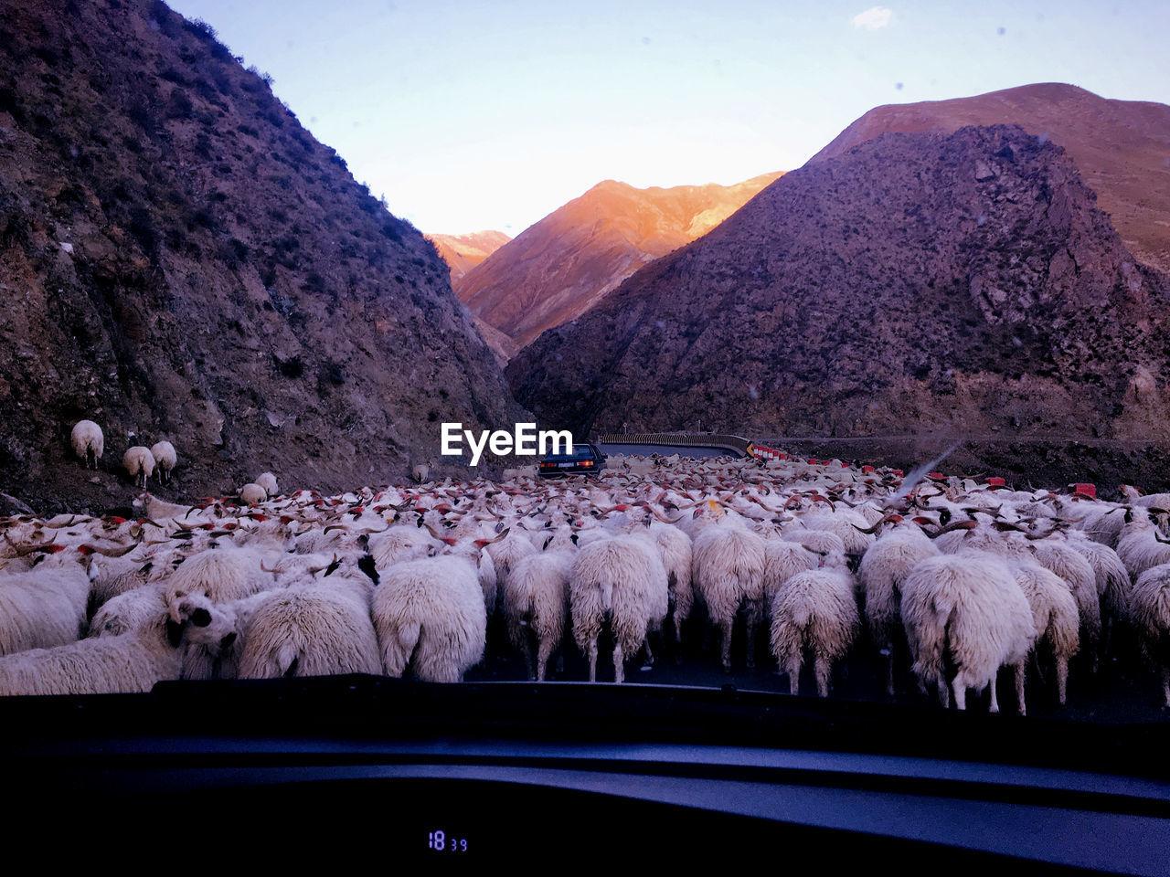 Sheep Walking On Street Seen Through Car Windshield