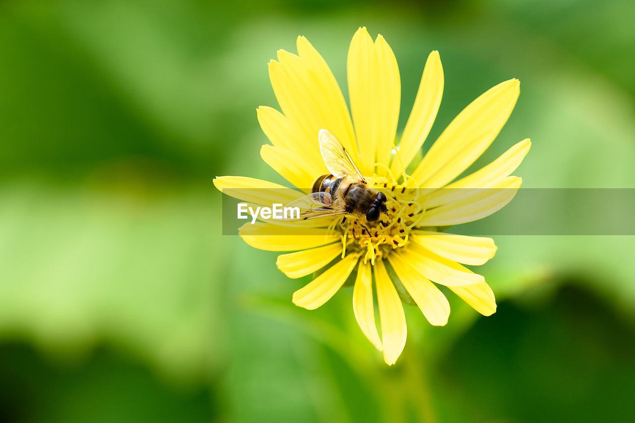 flowering plant, flower, animal themes, fragility, invertebrate, insect, animals in the wild, petal, animal wildlife, animal, vulnerability, one animal, beauty in nature, flower head, freshness, growth, bee, yellow, plant, inflorescence, pollination, pollen, no people, outdoors