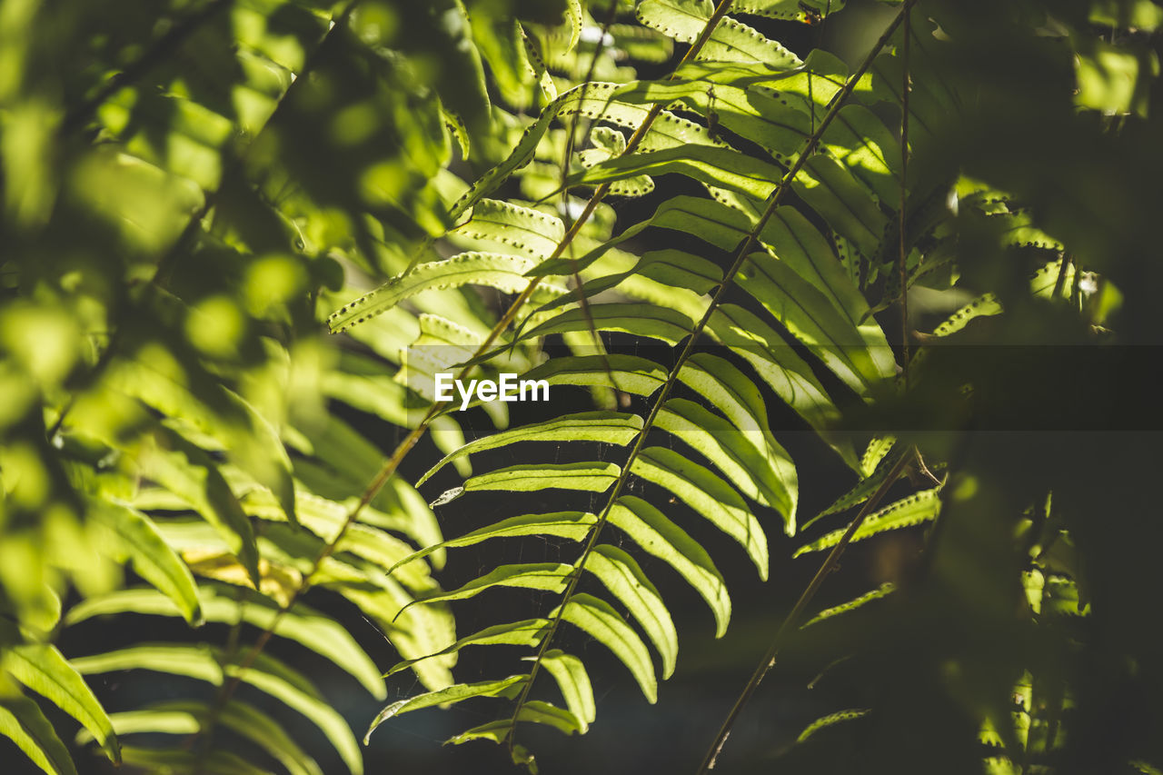 growth, plant, leaf, plant part, green color, beauty in nature, no people, nature, day, close-up, tree, tranquility, outdoors, sunlight, selective focus, leaves, focus on foreground, full frame, fern, backgrounds, palm leaf, spring, rainforest