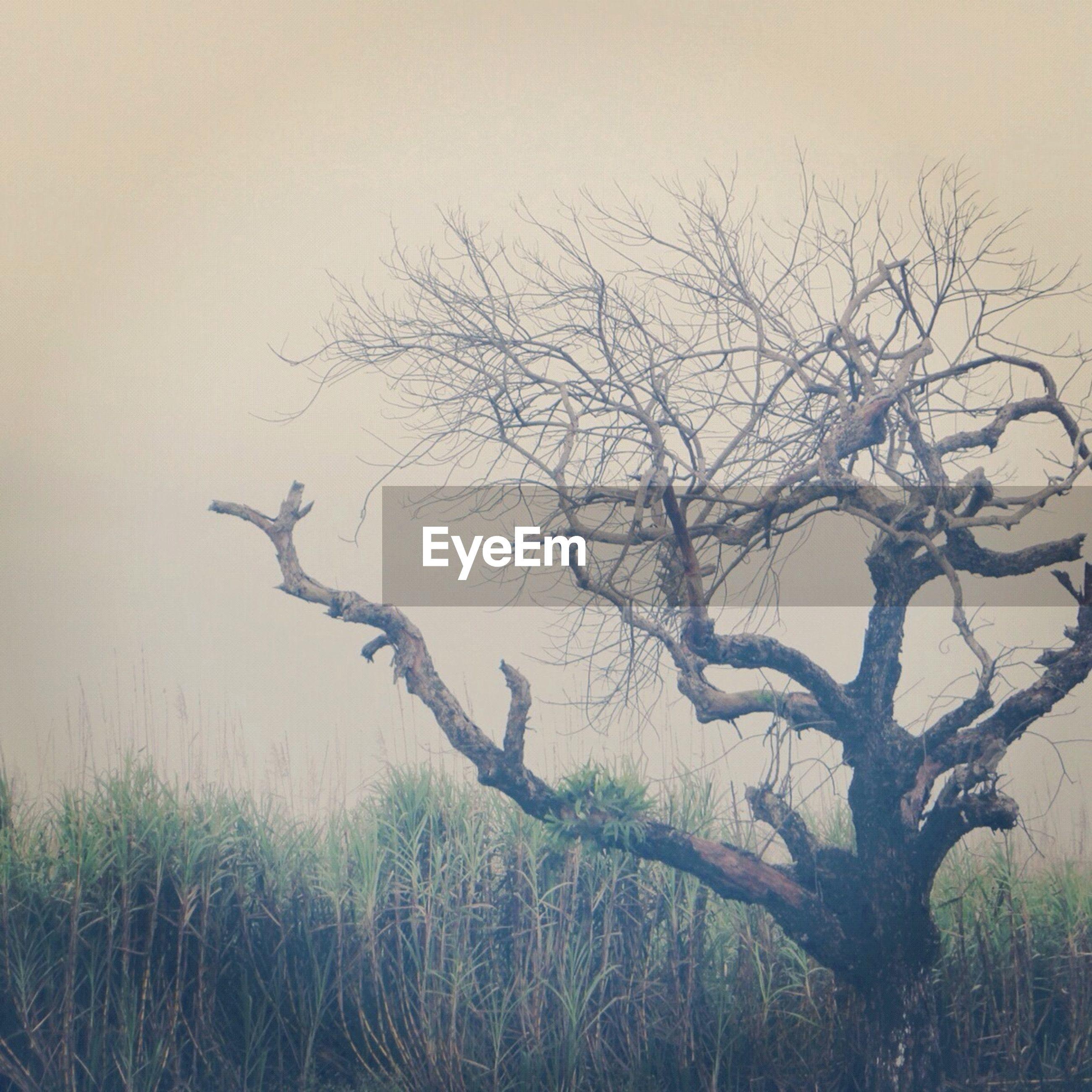 Bare tree in sugar cane field