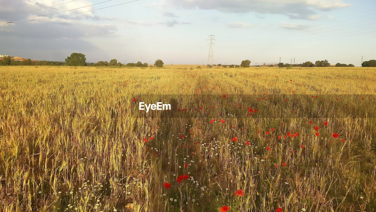 field, growth, nature, agriculture, landscape, sky, crop, plant, tranquility, beauty in nature, no people, rural scene, cereal plant, wheat, outdoors, grass, flower, day, tree