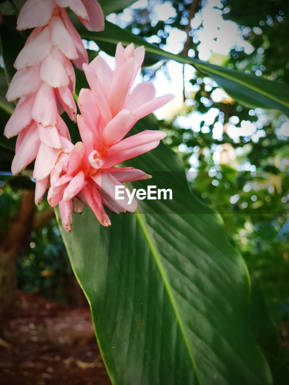 plant, flowering plant, growth, flower, beauty in nature, freshness, vulnerability, fragility, close-up, petal, plant part, leaf, nature, flower head, inflorescence, day, pink color, no people, green color, focus on foreground, outdoors