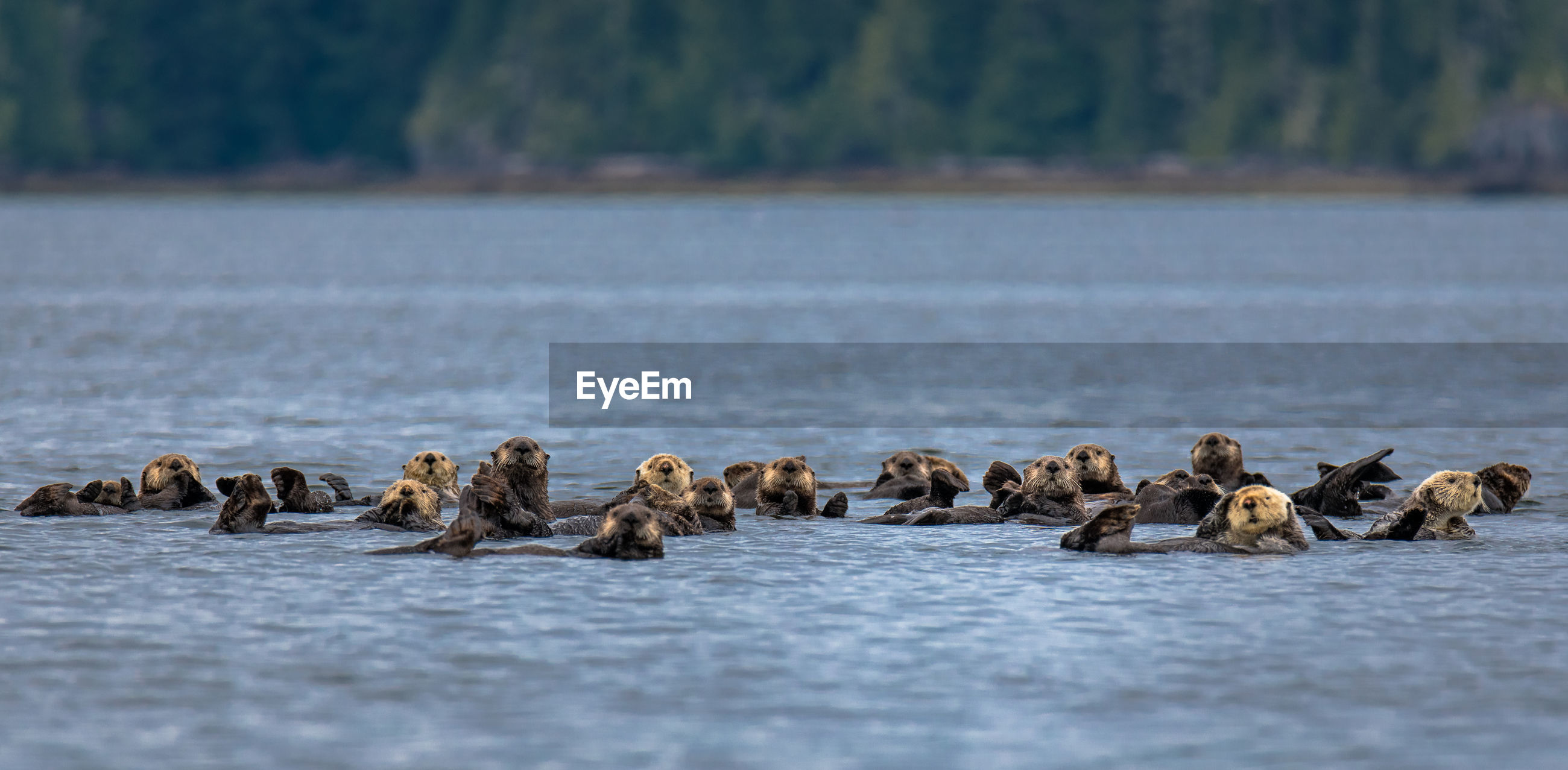 View of otters swimming in ocean