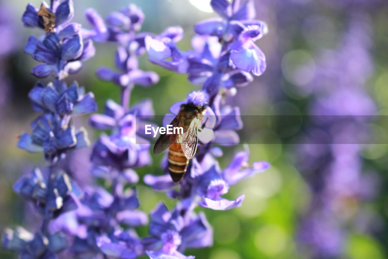 purple, flower, nature, fragility, insect, beauty in nature, animals in the wild, animal themes, one animal, petal, bee, freshness, no people, growth, outdoors, day, focus on foreground, pollination, close-up, plant, animal wildlife, bumblebee, flower head, blooming, buzzing
