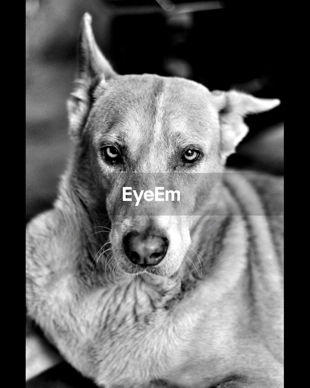 one animal, dog, canine, animal themes, mammal, domestic, animal, domestic animals, pets, vertebrate, looking at camera, portrait, close-up, no people, animal body part, transfer print, focus on foreground, auto post production filter, relaxation, animal head, weimaraner