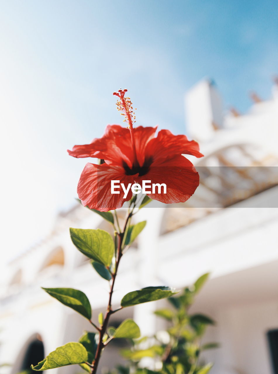 CLOSE-UP OF RED HIBISCUS PLANT