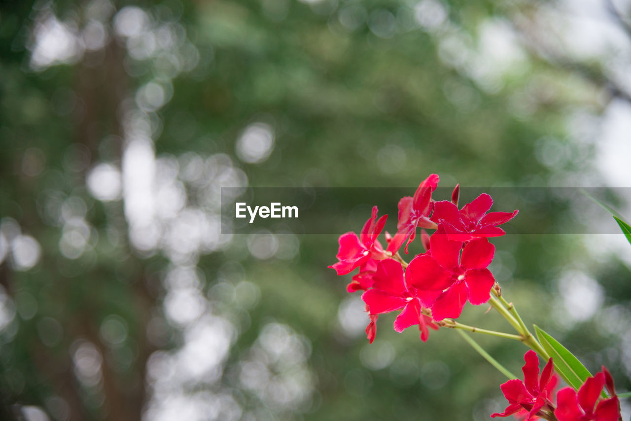 flower, red, petal, fragility, beauty in nature, nature, flower head, freshness, growth, pink color, focus on foreground, blooming, no people, day, close-up, outdoors, plant